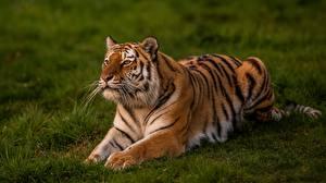 Hintergrundbilder Tiger Gras Tiere