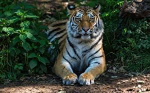 Hintergrundbilder Tiger Pfote Starren
