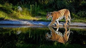 Fotos Tiger Teich Reflexion Tiere