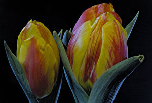 Pictures Tulips Closeup Black background Flowers