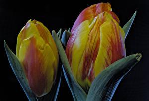 Bilder Tulpen Großansicht Schwarzer Hintergrund Blüte