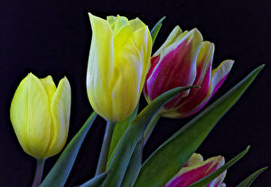 Picture Tulips Closeup Black background Flowers