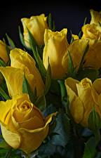 Wallpaper Tulips Closeup Black background Yellow Flowers
