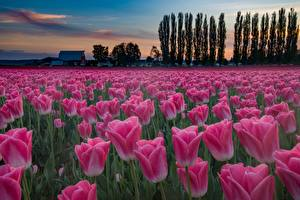 Photo Tulips Fields Evening Pink color