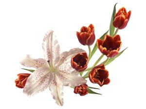 Hintergrundbilder Tulpen Lilien Weißer hintergrund Blumen