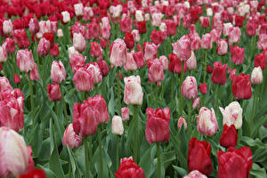 Pictures Tulips Many Flowers