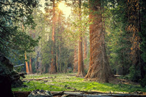 Wallpapers USA Parks Forests California Trees Sequoia National Park