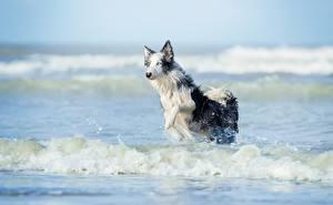 Hintergrundbilder Wasserwelle Hunde Wasser Lauf Border Collie Tiere