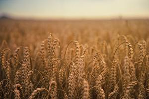 Wallpapers Wheat Fields Ear botany by Johannes Plenio Nature