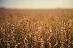 Hintergrundbilder Weizen Felder Ähre by Johannes Plenio Natur