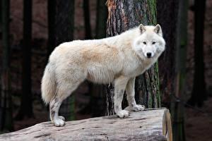 Wolf Bilder 627 Fotos Hintergrundbilder