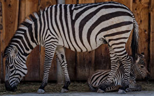 Wallpapers Zebras Cubs 2 Side animal