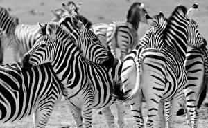 Image Zebras Many Black and white Animals