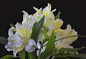 Images Alstroemeria Closeup Black background White Flowers