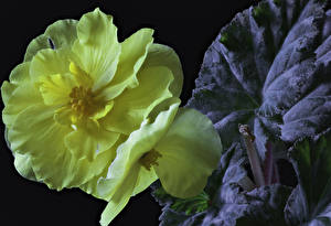 Photo Begonia Closeup Black background Yellow Flowers