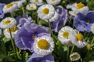 Hintergrundbilder Gänseblümchen Garten-Stiefmütterchen Nahaufnahme