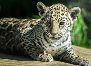 Hintergrundbilder Große Katze Jaguar Babys Tiere