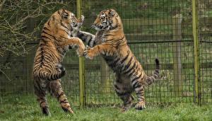 Bilder Große Katze Tiger Zwei Zaun Schlägerei Tiere