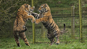 Pictures Big cats Tigers Two Fence Fight animal