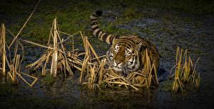 Hintergrundbilder Große Katze Tiger Wasser Sumpf