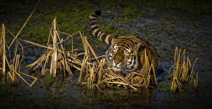 Wallpapers Big cats Tigers Water Swamp Animals