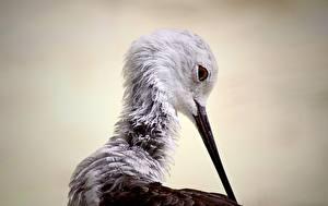 Hintergrundbilder Vögel Schnabel Kopf Black-winged stilt Tiere