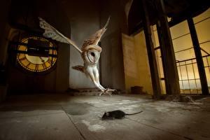 Fotos Vögel Eulen Mäuse Jagd