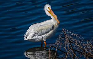 Fotos Vögel Pelikane Wasser