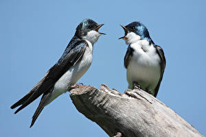 Bilder Vögel Schwalben Zwei Hirundo rustica