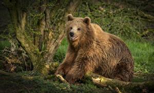 Bilder Bären Braunbär