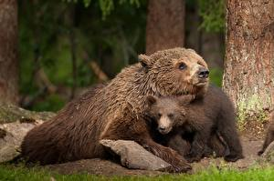 Image Bears Grizzly Cubs 2 Animals