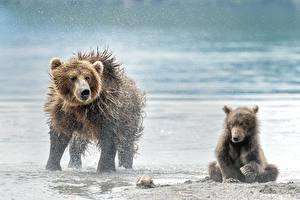 Bilder Ein Bär Braunbär Jungtiere Zwei Spritzwasser Nass ein Tier