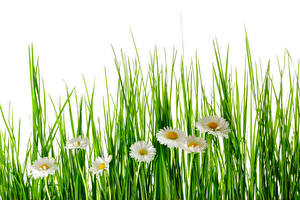 Picture Camomiles White background Grass Flowers