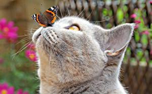 Desktop hintergrundbilder Hauskatze Schmetterling Schnauze Grau Nase Kopf ein Tier