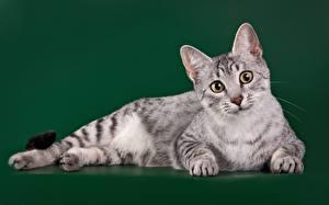 Hintergrundbilder Katze Starren Farbigen hintergrund Egyptian Mau Tiere