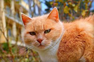Bilder Katze Ingwer farbe Schnauze Schnurrhaare Vibrisse Tiere