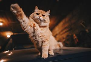 Hintergrundbilder Katze Pfote Fuchsrot Tiere
