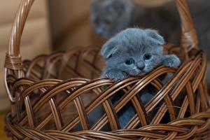 Hintergrundbilder Katzen Schottische Faltohrkatze Weidenkorb Graues Kätzchen ein Tier