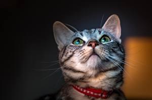 Hintergrundbilder Hauskatze Schnauze Starren Schnurrhaare Vibrisse Tiere