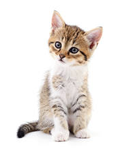 Picture Cat White background Kittens Staring Sitting animal