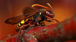 Pictures Closeup Macro photography Insects Hornet Animals