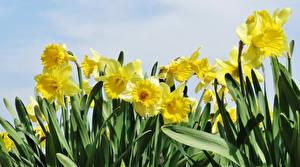 Bilder Narzissen Hautnah Gelb Blüte