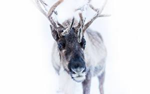 Hintergrundbilder Hirsche Winter Horn Schnee Weißer hintergrund Tiere