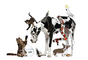 Hintergrundbilder Hunde Katze Schlangen Waschbären Papageien Hausmeerschweinchen Weißer hintergrund Dalmatiner Welpe Chihuahua Katzenjunges Tiere