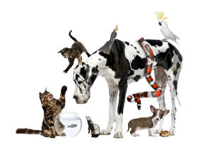 Wallpapers Dog Cats Snake Raccoons Parrots Cavy White background Dalmatian Puppy Chihuahua Kitty cat animal
