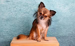 Fotos Hunde Chihuahua Sitzend ein Tier