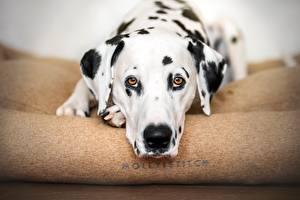 Hintergrundbilder Hund Dalmatiner Schnauze Blick Tiere