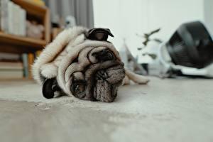 Bilder Hunde Starren Schnauze Mops (Hunderasse) Trauriger Liegt Tiere
