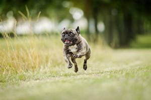 Pictures Dogs Running Jump Black Bulldog