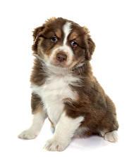 Картинка Собаки Белый фон Австралийская овчарка Щенок Сидит Животные